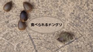 食べられるドングリタイトル